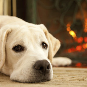 Yellow lab laying by the fire